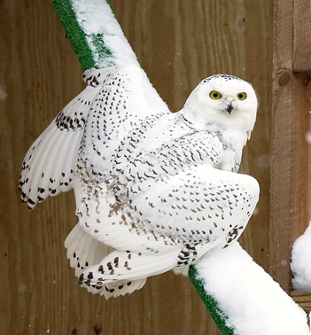 Injured Snowy Owl