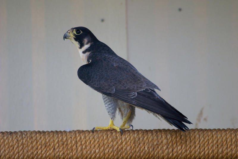 Peregrine Falcon broken wing (recovered)
