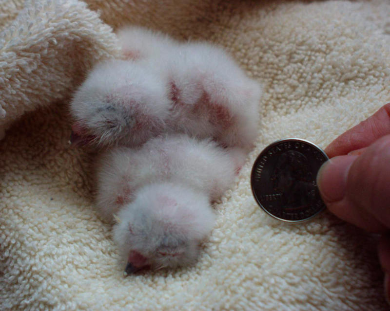 Baby Screech Owls 18 hours old
