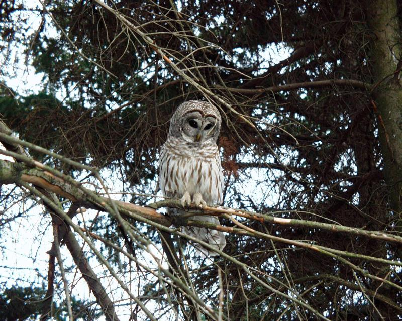 Barred Owl post release