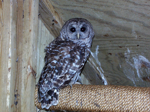 Barred Owl pre-release