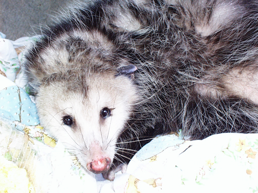 Oppossum hit by a car