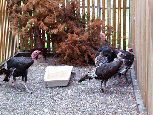 Confiscated Turkeys pre-release