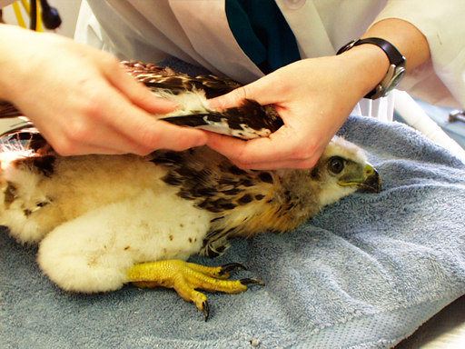 Baby red tailed hawk